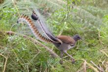 Lyrebird in Tarra Bulga NP